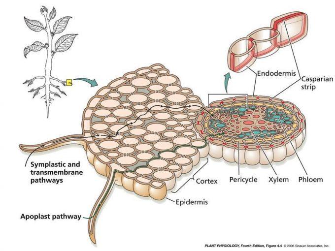 جذب و انتقال آب در ریشه گیاهان